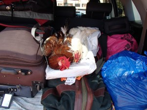 I packed everything I could think of for my trip.... I thought I was prepared for any situation.  However, a chicken coop was not on my checklist!