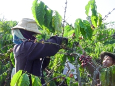 The changing climate is a serious problem for coffee farmers in countries like Vietnam, as weather patterns become less predictable.