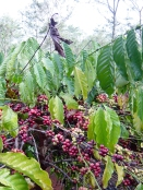 Droughts can mean there are fewer flowers on coffee plants, and therefore less coffee cherries to harvest. Erratic or destructive rains and strong winds can cause leaves and cherries to fall off the plants. These changes can cause costs for farmers to go up, while the quantity and quality of the coffee go down.