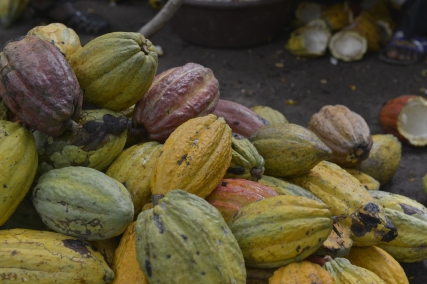 Around a third of the world's cocoa comes from Côte d'Ivoire, mostly grown on small family farms. Brightly colored cocoa pods like these grow on trees, before being cut down and collected by farmers.