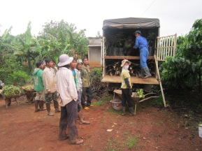 Using shade trees is one way of adapting to climate change. Planting other crops like avocados or bananas in between coffee plants can protect the coffee from heat stress. Here, farmers unload a delivery of young avocado plants.