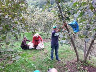 Harvesting Hazelnuts