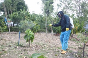 Pest & Disease Control on cocoa trees